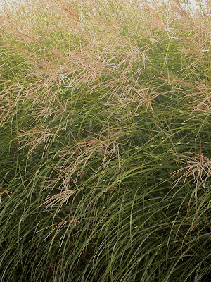 Miscanthus sinensis 'Staccato'