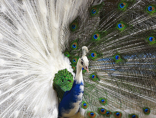 Dangerous of Wild Animals: Peacock