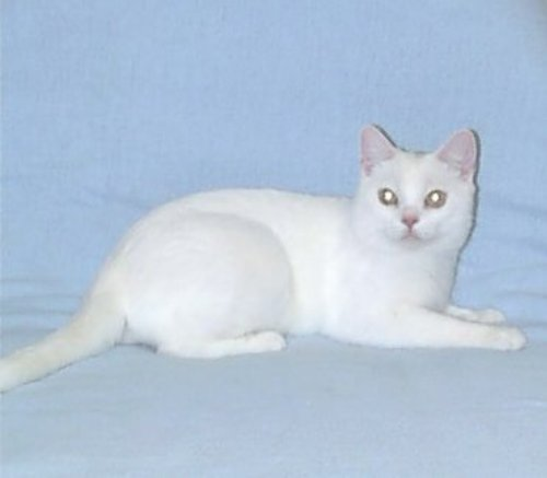 american-shorthair-cat-white