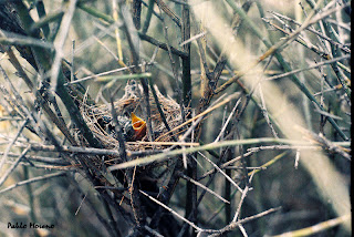 nido de calandrita