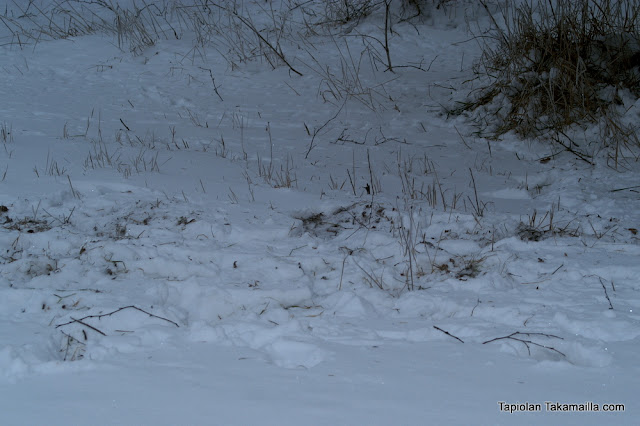peltopyyn lumijäljet
