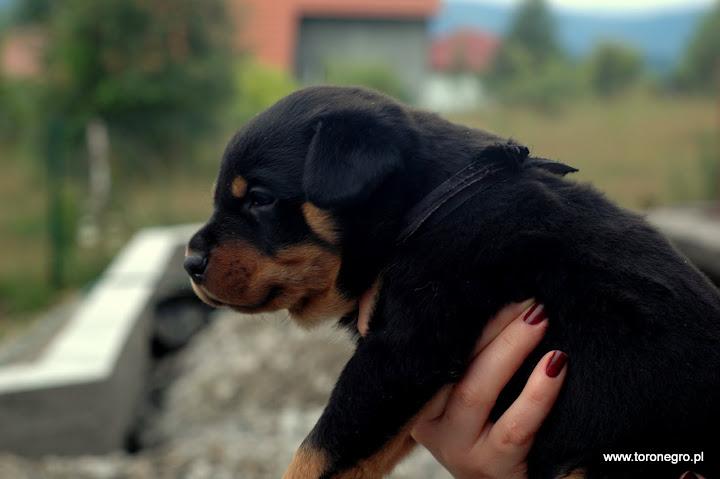Rottweiler czarny piesek szczeniak