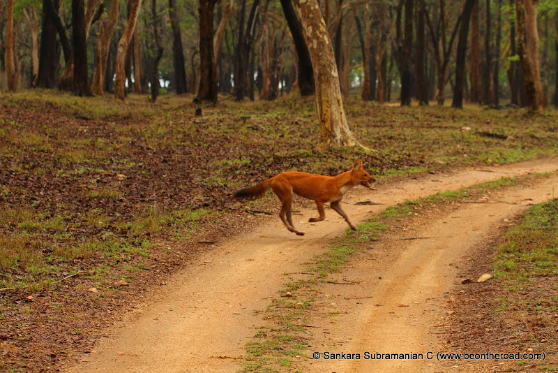 Wild Dog crosses the jungle jeep track
