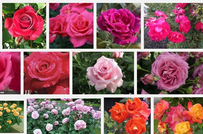 Phân loại các giống hoa hồng