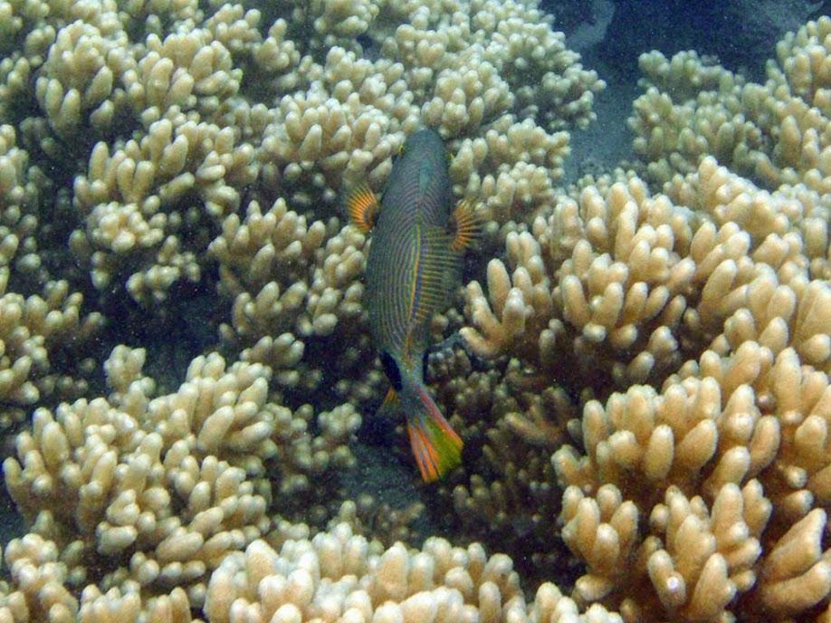 Balistapus undulatus (Orange-lined Triggerfish), Naigani Island, Fiji.