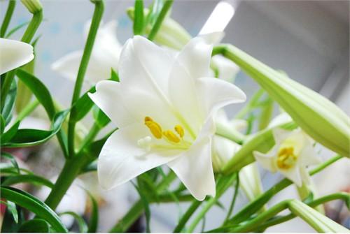 Ảnh hoa loa kèn tháng tư