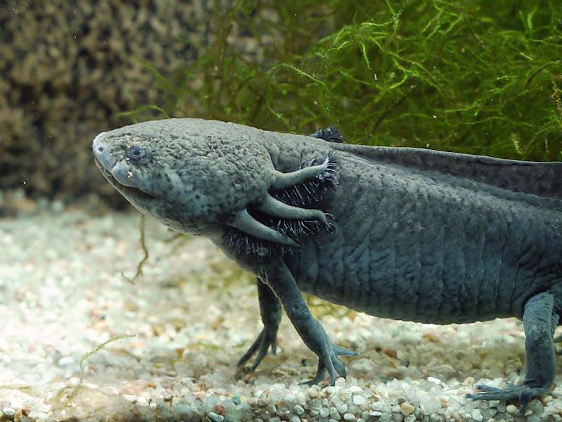 Axolotl G1280539