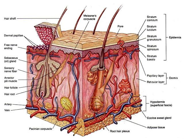 penampang kulit Sistem Ekskresi (3): Sistem ekskresi pada manusia