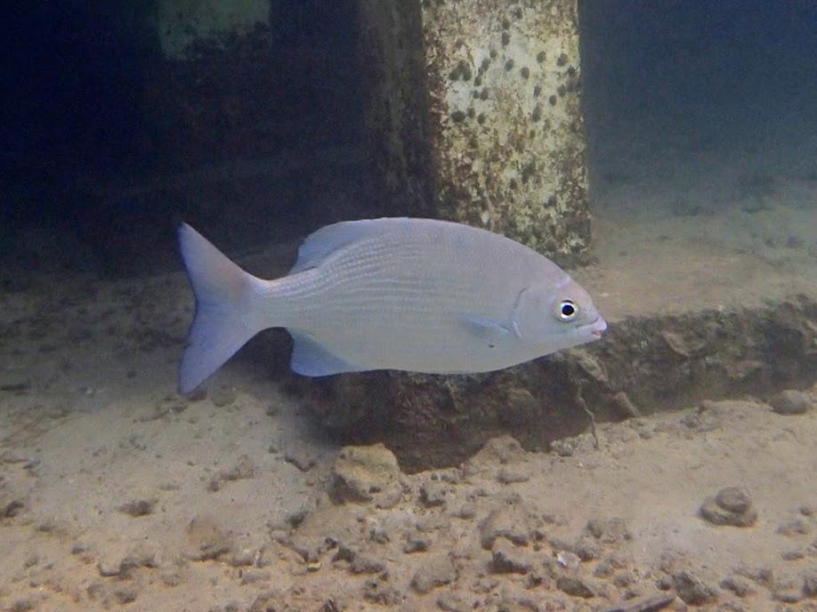 Kyphosus cinerascens (Snubnose Chub), Miniloc Island Resort Reef, Palawan, Philippines.