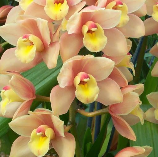 eva.orchidsnz