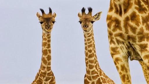 Two Newborn Giraffe, Masai Mara, Kenya.jpg