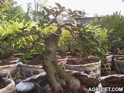 Agriviet.Com-cay_2_-_truoc.jpg