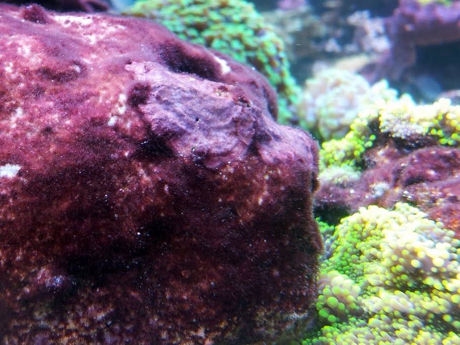 algues rouges v 233 g 233 taux cap r 233 cifal
