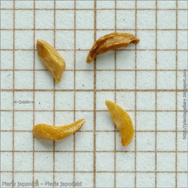 Pieris japonica seeds - Pieris japoński nasiona