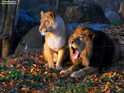 leul si leoaica. Zoo Pilsen, Cehia