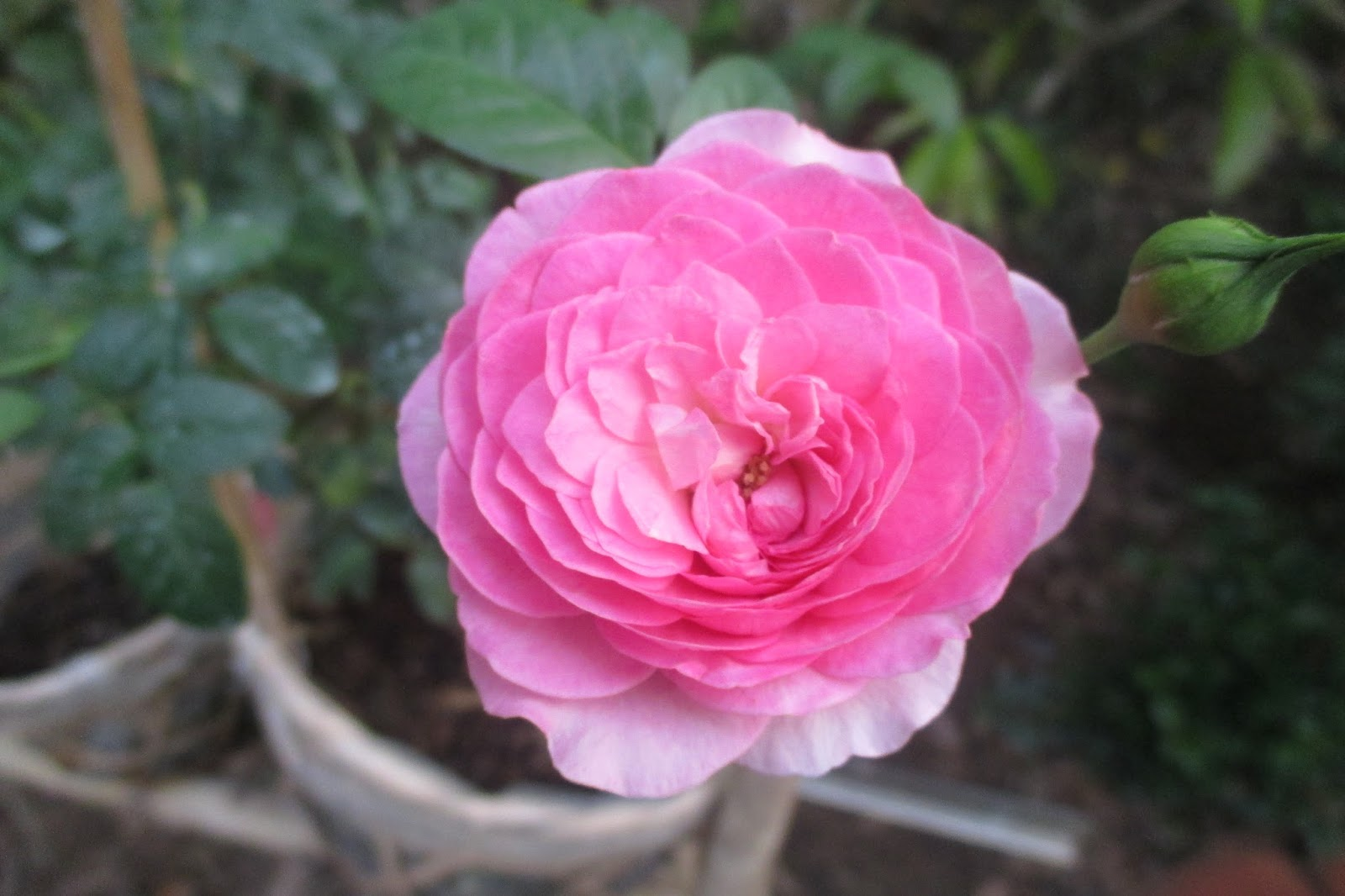 Form hoa hồng Nhật Bản Mon Coeur khi mới trồng
