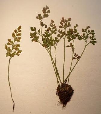 Zanokcica murowa okaz zielnikowy Asplenium ruta-muraria dried herbarium