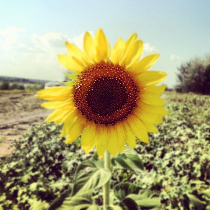 Фотография подсолнуха, снятого на iPhone 4, обработана в instagram