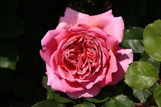 Form hoa hồng Princess Alexandra of Kent, ảnh chụp dưới nắng