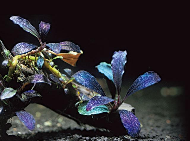 cây thủy sinh Bucephalandra sp. Brownie Ghost