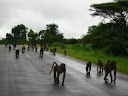 An army of baboons marching down the road.
