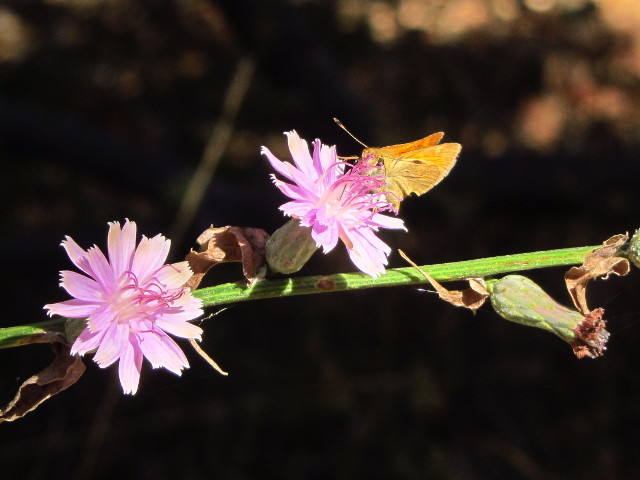 orange moth on a purple flower