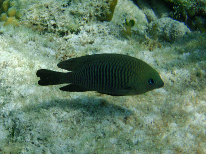 Stegastes diencaeus (Adult Longfin damselfish) near Tranquility Bay Resort.