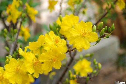 ảnh hoa mai vàng mùa xuân
