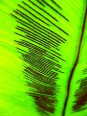 Zanokcica gniazdowa - Asplenium nidus - leaf, liść