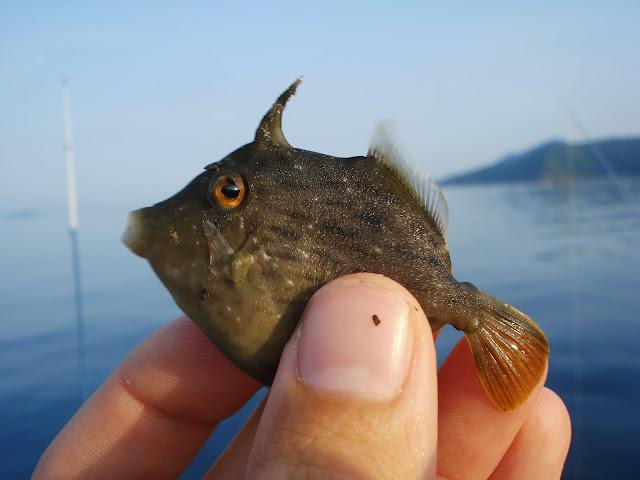 filefish_threadsail.JPG