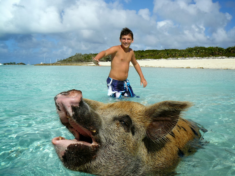 Swimming Pigs a Big Major Cay