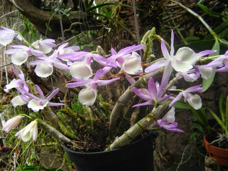 Hoàng thảo vôi là loại phong lan xuất xứ từ Tây Bắc