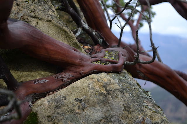 manzanita and sandstone in intimate contact