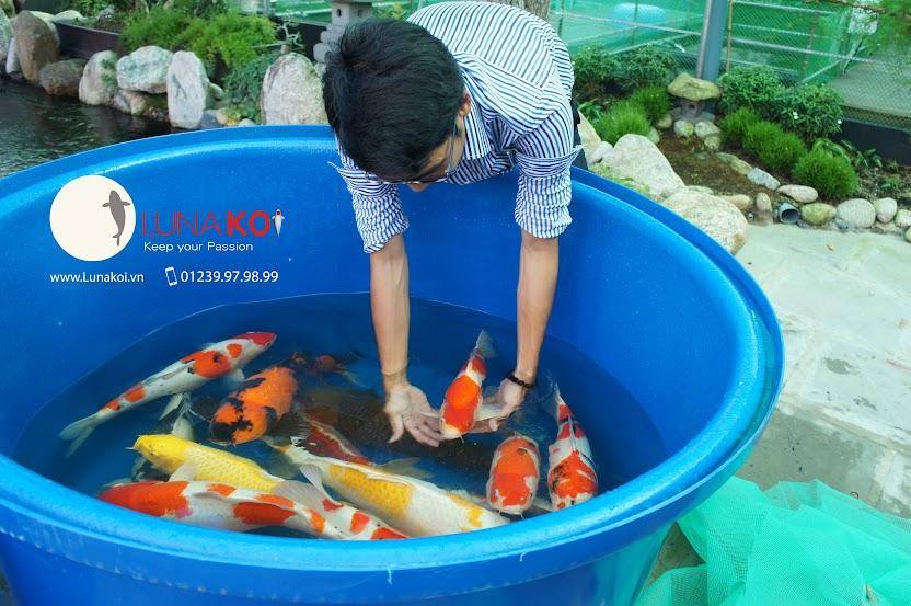 Bán cá chép koi Hồ Chí Minh