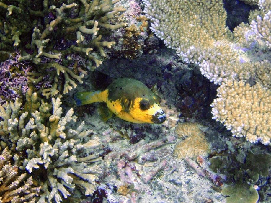 Arothron nigropunctatus (Blackspotted Dog-face Puffer), Naigani Island, Fiji