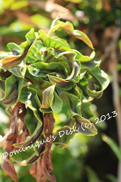 Wavy leaf plant