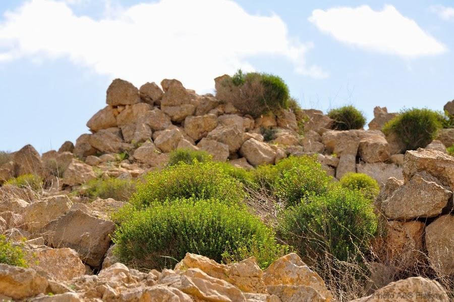 Экскурсия гида Светланы Фиалковой. Негев цветущий. Растения пустыни.