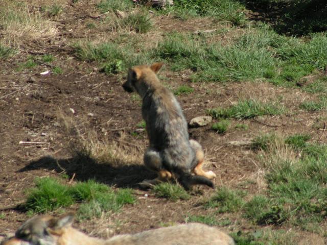 Les Loups de Chabrière PICT0491