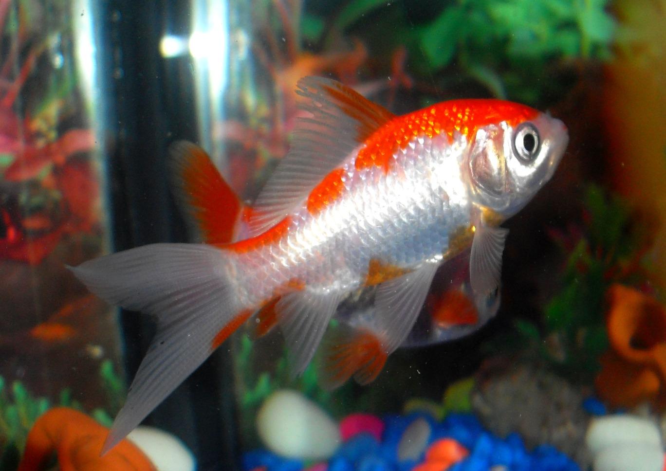 Acua fr a el cometa sarasa for Como cuidar peces de agua fria