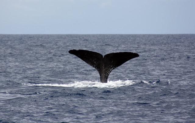 Esses magnificos Cetacios -  Cachalotes - Golfinhos etc IMG_3397a