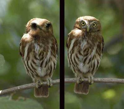 Burung Ferruginous Pygmy Owl