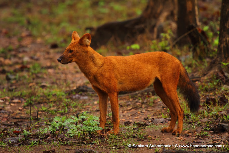 Wild Dog at Nagarhole National Park