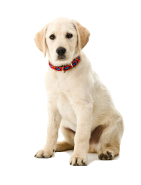 Beds And Collars For Labradors | Labrador Products