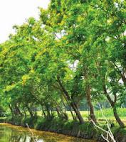 Cây hương vườn - dáng dấp cây sưa