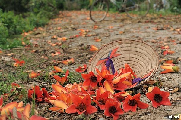 hoa Mộc Miên rơi rụng đỏ sân