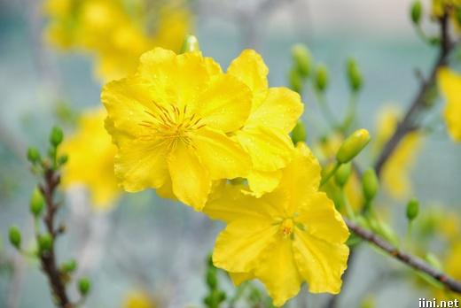 ảnh hoa mai vàng trong ngày Tết