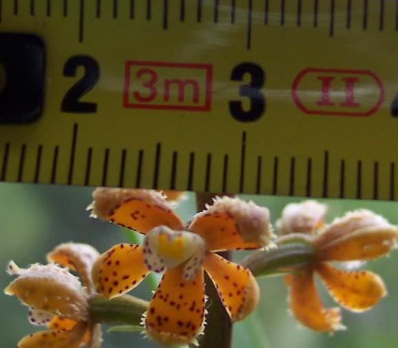 Растения из Тюмени. Краткий обзор - Страница 4 Enc_maculosa3