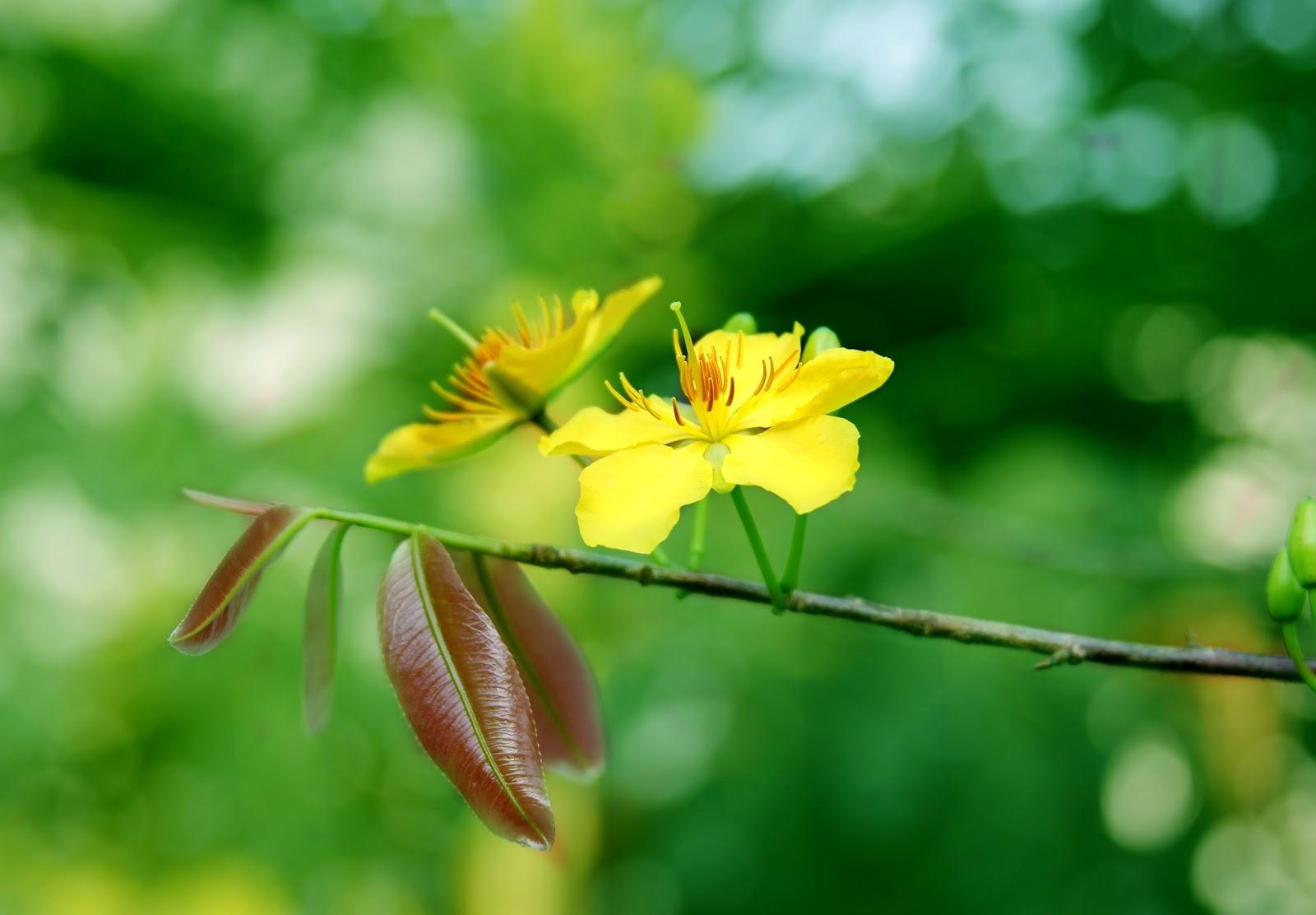Ảnh hoa mai mùa Xuân