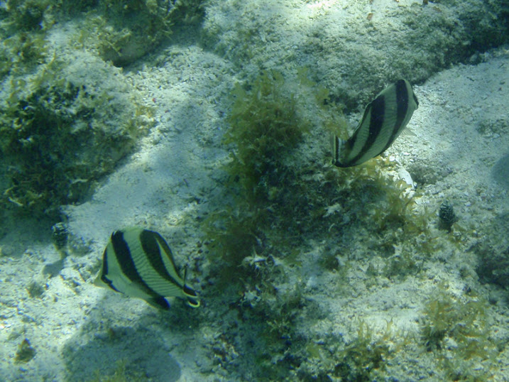 Chaetodon striatus (Banded Butterflyfish) near Tranquility Bay Resort.