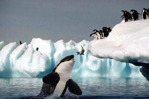penguin eaten by a whale